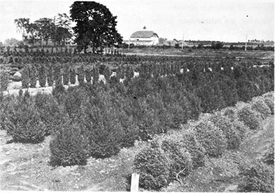 Well Maintained Rows Of Hearty Evergreens Attest To The Quality And Variety Nursery Business Developed By Flemers 1924 When This Shot Was